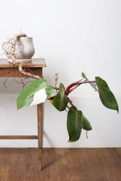 フィロデンドロン・ホワイトプリンセス / Philodendron erubescens 'White Princess | <3 <3 <3 #plantwishlist white variegated Philodendron | same plant as 'White Knight' or 'White Wizard'?