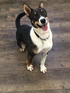Roo Dog Cat, Corgi, Adoption, Pets, Cattle, Camper, Foster Care Adoption, Gado Gado, Corgis