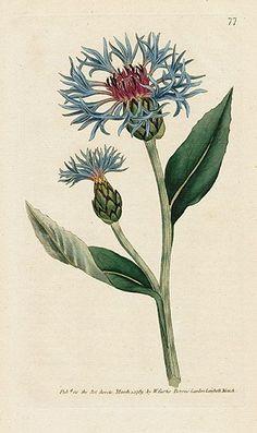 William Curtis Botanical Magazine 1st Edition Prints 1787: Centaurea montana. Greater Blue-bottle.