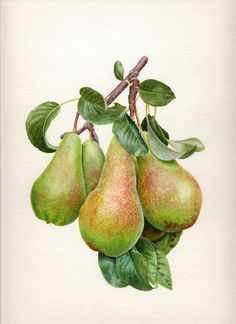 Portfolio of botanical illustrator Carolyn Jenkins, specialising in scientifically observed beautiful watercolour botanical illustrations. Vegetable Illustration, Plant Illustration, Botanical Illustration, Watercolor Illustration, Watercolor Fruit, Fruit Painting, Watercolor Flowers, Watercolor Paintings, Watercolors