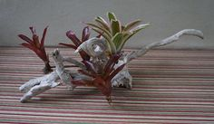Driftwood Centerpiece with tropical bromeliads Driftwood Centerpiece, Driftwood Planters, Tropical Centerpieces, State Of Florida, Exotic, Drift Wood, Handmade, Beautiful, Garden
