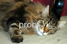 Maine Coon Cat Photograph - 8 x 10 up - Signed - Limited Edition via Etsy