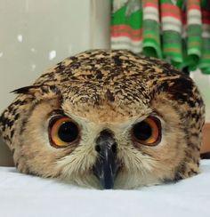Funny Bird, Funny Owls, Cute Funny Animals, Cute Baby Animals, Owl Pictures, Cute Animal Pictures, Owl Photos, Beautiful Owl, Animals Beautiful