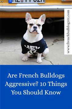 French Bulldog aggression is not common, but they do have their little moments. Are French Bulldogs aggressive dogs? Here are 10 things you should know. French Bulldog Breed, French Bulldog Facts, Bulldog Breeds, French Bulldogs, Protective Behaviours, Bad Education, Aggressive Dog, Dog Owners, Pets