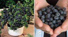 Voici les 6 étapes à suivre pour faire pousser vos propres bleuets bio facilement à la maison et bénéficier des avantages de ces fruits.