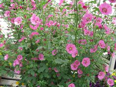 Anisodontea, also called African mallow - So pretty against a white or yellow background. Drought tolerant.