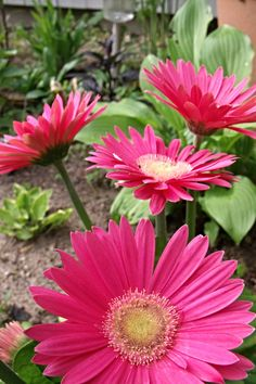 Gerberas, a lovely gift to our gardens here at Annapolis Riviera Gourmet Preserves.