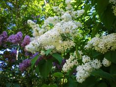 """i have a """"dwarf"""" lilac tree under my bedroom window. heavenly!"""