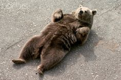 Bear lying on back