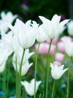 Find out why tulips should be an essential part of your garden (1. they're gorgeous!)