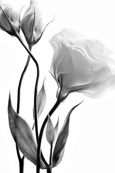17 trendy painting black and white flowers Black And White Flowers, Black And White Drawing, Black White Photos, Black And White Photography, Black Gold, Flower Prints, Flower Art, Rose Fotografie, Plant Drawing