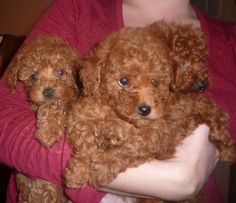 red maltipoo teacup - Google Search