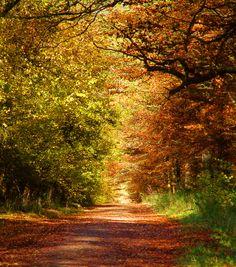 Autumn in Collingbourne Wood, Wiltshire, England ....