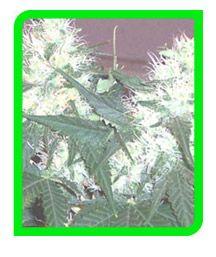 White Rhino Seeds