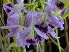 Belle Isle Orchids by Maia C,