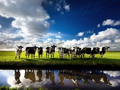 Cows. I love cows :D dairy farmer represent haha