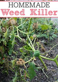 Get rid of your weeds for good with this amazing homemade weed killer! Your flower beds will look great with very little work.