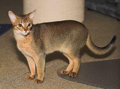 "Abyssinian cat- Mrs. Nancy's cat ""Gingersnap"""