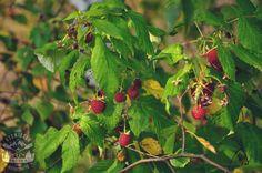 (Malina właściwa (Rubus idaeus L.)) Malina właściwa (Rubus idaeus L.) (i jej… Bushcraft, Strawberry, Fruit, Food, Essen, Strawberry Fruit, Meals, Strawberries, Yemek