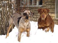 Louisiana Catahoula Leopard Dogs - KEVIN Šumící křídla & Ahaide Dogo Dogino | Coahoma Catahoulas