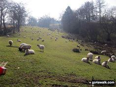 Walk Picture/View: Sheep near Turner's Pool in The Peak District, Staffordshire, England by Mike Walker (31) Baaaaa! Ya gotta have 'sheep!' Baaaaa!