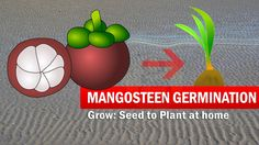 This video show you mangosteen seed germination with result and time-lapse after 40 days of germinating mangosteen fruit seed. Also shows you Mangosteen seed Germination done using Toilet paper method (tissue/ towel Paper). You can later grow the mangosteen tree in a pot after it grows little taller after about 2 months.  Free SUBSCRIBE TO Our Channel at: http://www.youtube.com/c/KitchenGarde... Our Facebook Page: https://www.facebook.com/gkvk.net/ Our Twitter URL…