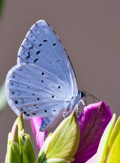 Holly blue butterfly macro // by Luigi on Flickr