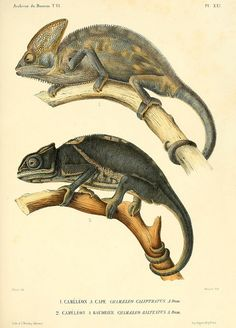 scientificillustration: Chamaeleo calyptratus and Furcifer balteatusby BioDivLibrary on