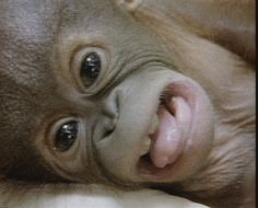 Video of the birth of a baby orang-utan has gone viral.