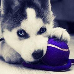 #husky #Husky #Siberian