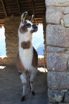 Roaming free in the Machu Picchu Sanctuary, a llama soaks up the amazing views below.