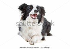 border collie sheepdog on a white background - stock photo