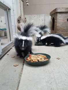❤The skunk kits are getting big and eating solid foods now. Food Now, Ferret, Pet Stuff, Pets, Cincinnati, Animals, Foods, Big, Food Food
