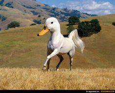 Animales curiosos: Pato-caballo.