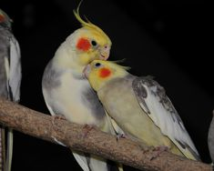 cockatiels | COCKATIELS - Cockatiels Photo (17401844) - Fanpop fanclubs