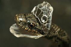 Shed Snakeskin : snake shedding it's skin. Snake Art, Pet Snake, Snake Skin, Pretty Snakes, Beautiful Snakes, Reptiles And Amphibians, Mammals, Snake Shedding, God's Heart