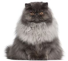 "We need to go back to 1620 to find the first mention of long-haired cats imported from Persia and Turkey. These cats were unusual for having long hair. By the 1800s traveling diplomats brought Persians back as presents for family. They were originally ""doll-faced"" with a small, but definite nose. In the past 150 years, selective breeding has created the ""flat-face"". They are often described as serene, relaxed, and gentle. Find more info about the Persian and their health needs."