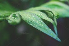 Drops on leafs. by Maria Dattola Ph. on Creative Market
