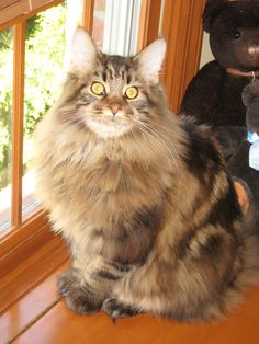 Riley, a fantastic brown classic maine coon cat with a gorgeous pattern and coat!!