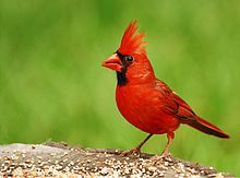 This mail Cardinal sports fine red plumage.  He is a seed eating bird and also enjoys the insects that bedevil us during summer.