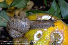 SNAILS & SLUGS: Snails and slugs rank among our most despised garden pests. These slimy mollusks emerge from hiding at night and chew holes in leaves and flowers of many succulent garden plants and fruit.
