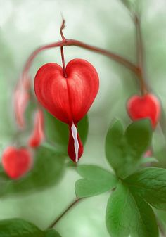 #tränendes herz #bleeding heart