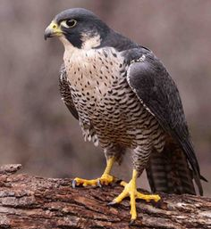 "Peregrine Falcon are known to ""dive bomb"" their prey. Talk about skill and technique."