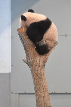 今日のパンダ(2042日目)   毎日パンダ