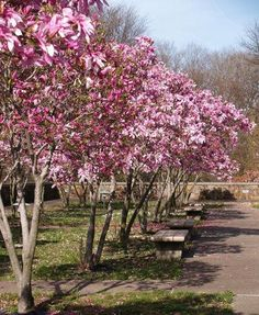 Long lasting, glossy blooms - These trees give you the traditional Magnolia semi-evergreen foliage with fragrant blooms.  These large flowers burst in the late spring. Pinkish purple on the outside, and a bright white on the inside.  Jane Magnolias grow very quickly to a mature height of 10-15 ft... the perfect size for a...