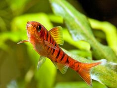 "Barbus fasciolatus, the African banded barb.  Peaceful barb.  Grows to 2.5.""  Ideal tankmate for other small, active fishes.  Keep in schools of 6-8 minimum."