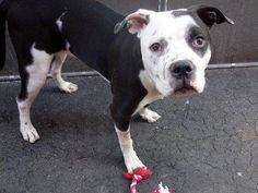 TO BE DESTROYED - TUESDAY 12/02/14 Manhattan Center    BANNER - A0994114    NEUTERED MALE, WHITE / BLACK, PIT BULL MIX, 7 mos  OWNER SUR - EVALUATE, NO HOLD  Reason MOVE2PRIVA   Intake condition NONE Intake Date 03/16/2014, From NY 10462, DueOut Date 03/16/2014   Main thread: https://www.facebook.com/photo.php?fbid=773924205953794&set=a.617938651552351.1073741868.152876678058553&type=3&permPage=1