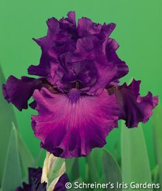 This refreshing mulberry-claret self is number one on the Iris hit parade. Its exquisitely ruffled petals, impeccable flower form and sweet lavender fragrance make it perfection indeed. Swingtown is...