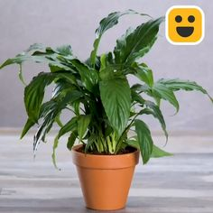 Unusual ways to care for plants! Unusual ways to care for plants!,Kochen und Garten Care for your indoor plants with these hacks! Related posts:Small Backyard Garden Ideas & Tips vegetable garden Small Backyard. Small Indoor Plants, Indoor Plant Pots, Indoor Plants India, Indoor Garden, Lavender Potted Plant, Pot Plante, Small Backyard Gardens, Planting Vegetables, Vegetable Gardening