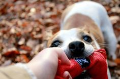This is my toy! #yummypets #jackrussel